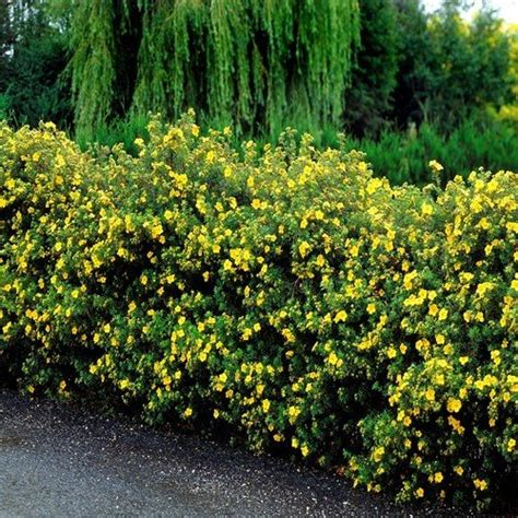 Potentilla fruticosa 'Goldteppich' Parastā klinšrozīte ...