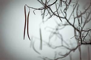 Catalpa Bignonioides Nana Pflege : trompetenbaum winterhart trompetenbaum pflanzen pflegen ~ Lizthompson.info Haus und Dekorationen