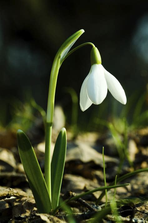 snowdrop wallpapers hd backgrounds