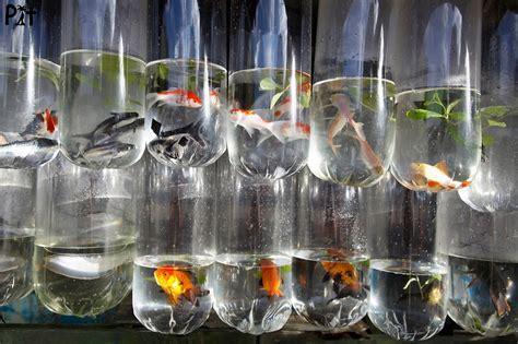 photographies de poilloux moluques sulawesi 2010 makassar 0313 poissons d eau douce pour