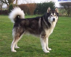 Alaskan malamute dog breed information, pictures, The ...