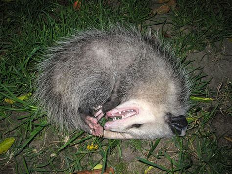 Possum Backyard by Why The Critters In Your Backyard Aren T Who They Used To