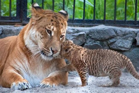 Rare Liger Cubs Born At Russian Zoo