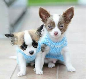 Puppies in sweaters!♥Kudos to the photographer & beautiful ...