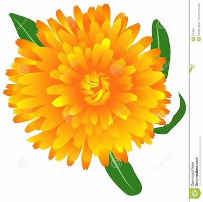 Marigold Clipart Yellow Calendula Vector Clipground Illustration