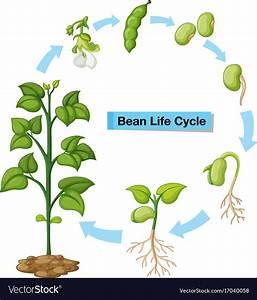Diagram Showing Bean Life Cycle Royalty Free Vector Image
