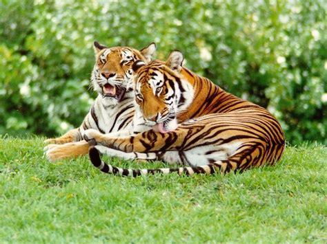 tigres salvajes  fondos de pantalla  wallpapers