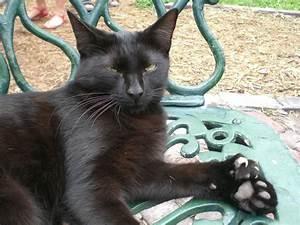 Cat 5 Cat 6 : polydactyl cat wikipedia ~ Eleganceandgraceweddings.com Haus und Dekorationen