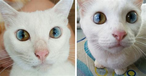 eyes cat different colors heterochromia universe panda inside submission together user