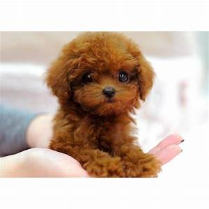red teacup poodle | dog obsessions | Pinterest | Pets, So ...