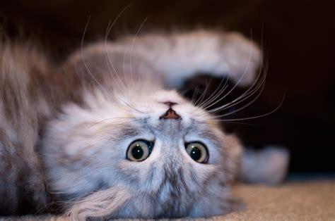 cat cats cute kitten funny persian why fancifully chinchilla pierce key logical reasons ago years deviantart silver