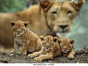 African Lion Cubs With Mother | www.imgkid.com - The Image ...