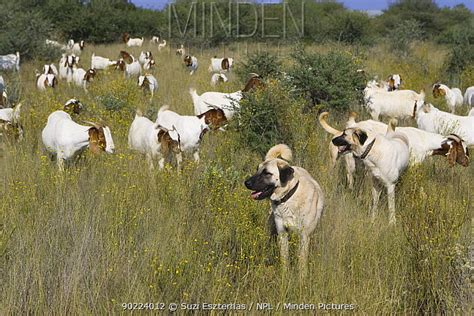 minden pictures stock  herd  goats protected