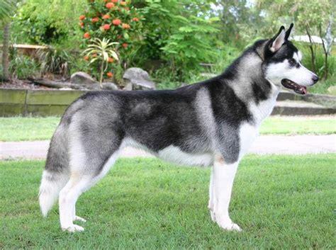 Suņu šķirnes(sibīrijas haskiji) - Spoki