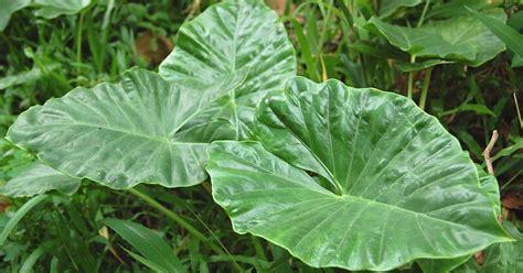 manfaat tanaman talas