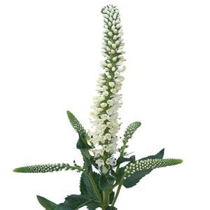 veronica white flower