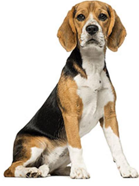 royal canin beagle adult dry dog food  lb bag chewycom