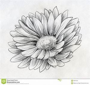 daisy Drawings   Pencil drawn sketch of a single daisy ...