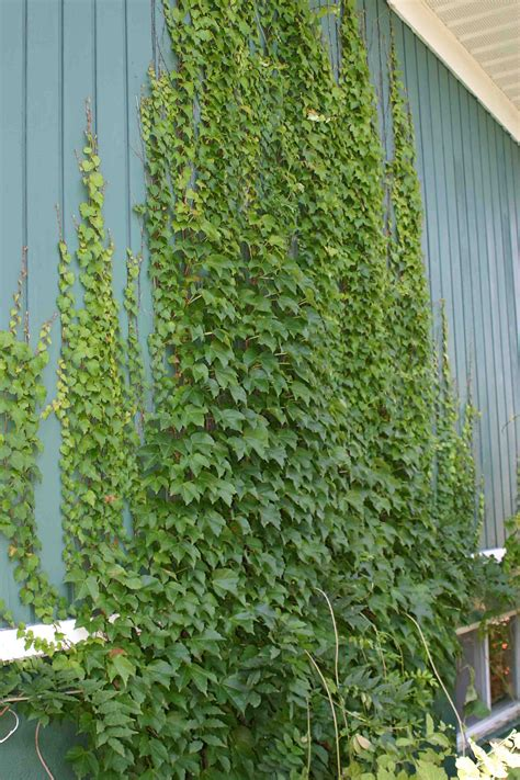 Tip Of The Day  Pinterest  Hedera Helix, Creepers And