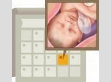 72 best Desarrollo fetal, semana a semana images on