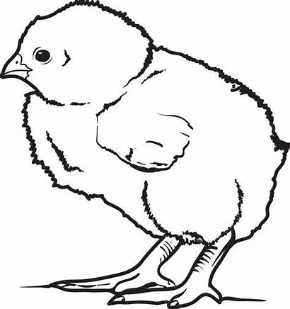 Chick Coloring Printable Drawing Chicken Pages Realistic