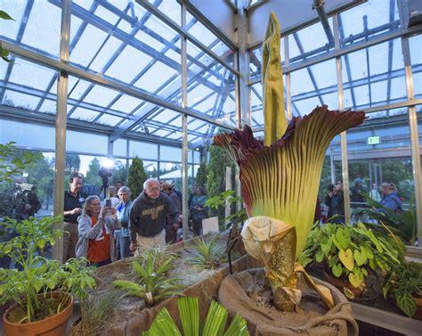 denver botanic garden s corpse flower reaches its