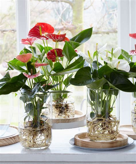 growing anthuriums in pots bare rooted anthurium growing in water bakker hydroculture blomster water