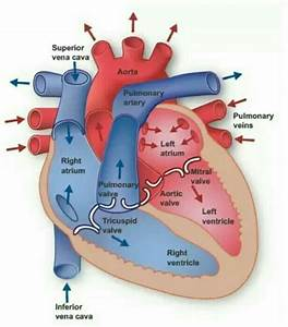 How Does Blood Flow Through The Heart Step By Step