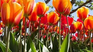 Wallpaper Tulips  4k  Flowers   5857