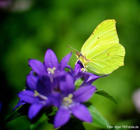 Garten Pflanzen Schmetterlinge by Zitronenfalter Sitzt Auf Der Bl 252 Te Einer Glockenblume