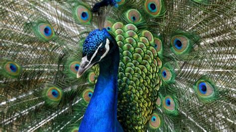 United Airlines grounds 'emotional support' peacock ...