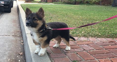 german shepherd pomeranian mix goldenacresdogscom