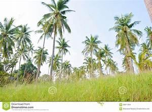 Coconut Tree Garden Stock Photo - Image: 59911464