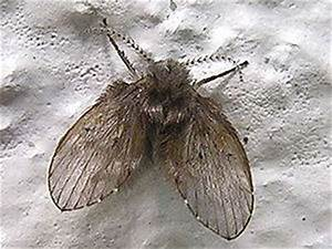 Fruchtfliegen Im Bad : schmetterlingsm cken wikipedia ~ Lizthompson.info Haus und Dekorationen
