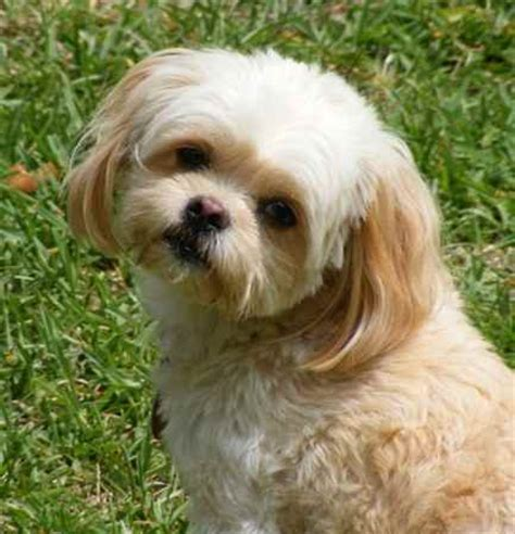 unreal pekingese cross breeds