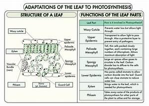 Gcse Plant Biology Posters