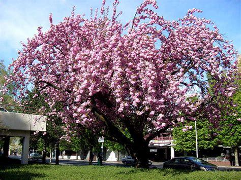 blooming plum tree flowering plum tree diseases garden guides