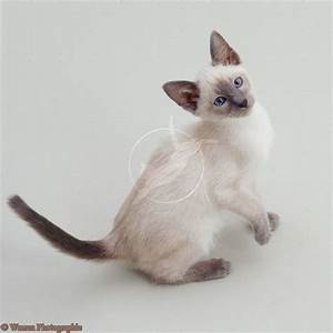 Blue point Siamese kitten | Cats | Pinterest
