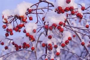 Busch Mit Roten Beeren : rote beeren unter schnee stockfoto bild von busch k hl 12416804 ~ Markanthonyermac.com Haus und Dekorationen