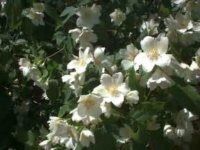 White Flowering Trees with Flowers