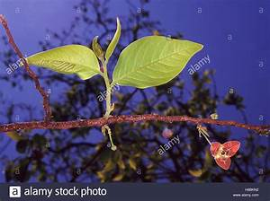 Laubbaum Mit Roten Blättern : angiospermen stockfotos angiospermen bilder alamy ~ Frokenaadalensverden.com Haus und Dekorationen
