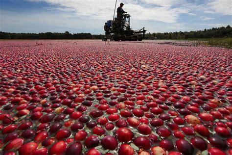 ocean spray expects  cranberry crop    bit