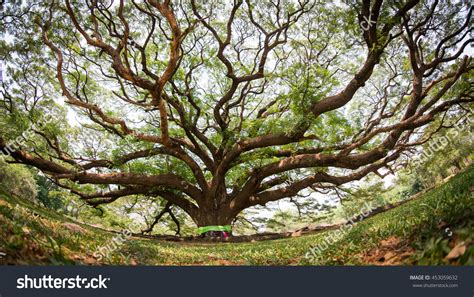 where can i buy a bodhi tree top 28 where can i buy a bodhi tree online buy wholesale ficus religiosa from china ficus