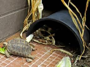 tortoise design simple outdoor tortoise shelter designs for tortoises tortoise forum