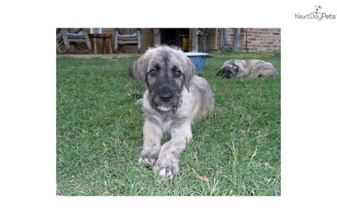 wolfhound non shedding wolfhound puppies for sale dogs puppies for sale