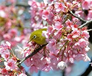 I ciliegi in fiore del Giappone Il Post