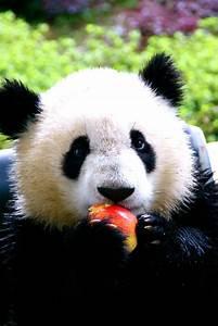 panda #pandas #pandalovers #animals   Pandas   Pinterest ...