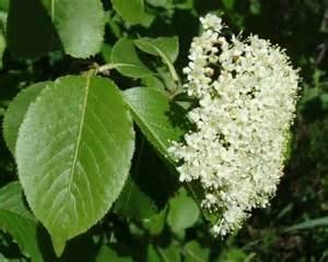 White Flowering Bush Identification