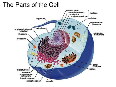 Diagram Part Of A Cell by Ppt The Parts Of The Cell Powerpoint Presentation Id