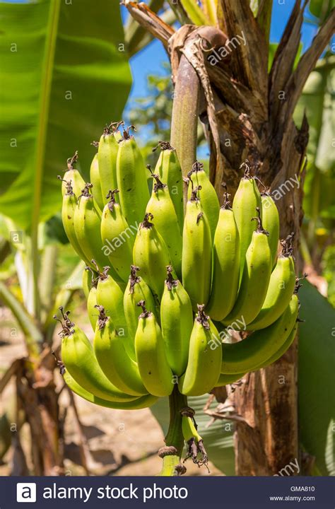 cabarete dominican republic bunch  bananas growing
